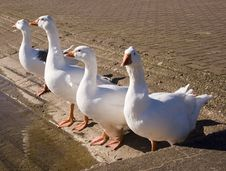 Free Geese Stock Photography - 647512