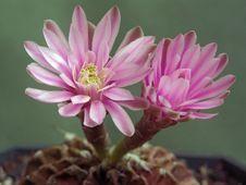 Free Blossoming Cactus Gymnocalicium Mihanovichii. Royalty Free Stock Photos - 647698