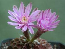 Free Blossoming Cactus Gymnocalicium Mihanovichii. Stock Photo - 647700