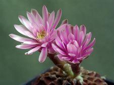 Free Blossoming Cactus Gymnocalicium Mihanovichii. Stock Photography - 647702