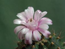Free Blossoming Cactus Of Family Gymnocalicium. Stock Photos - 647703