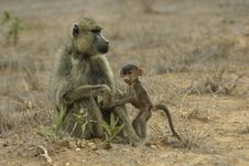 Free Baboon Mother And Infant Royalty Free Stock Images - 648379