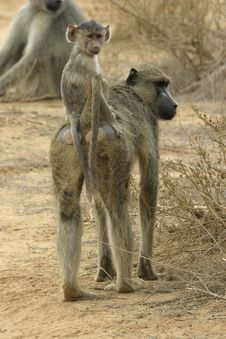 Free Baboon Infant Royalty Free Stock Photos - 648398