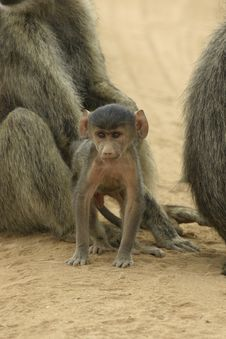 Free Baboon Infant Royalty Free Stock Images - 648419