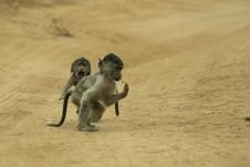 Free Baboon Infants Chasing Stock Photo - 648420