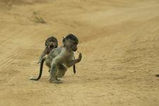 Baboon Infants Chasing Stock Photo