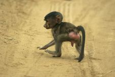 Free Baboon Infant Stock Photography - 648422