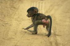Baboon Infant Stock Photography