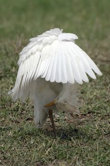 Free Cattle Egret Royalty Free Stock Photography - 648527