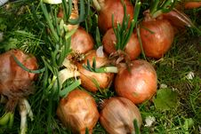 Free Onions Stock Images - 648534