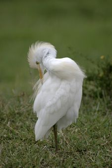 Free Cattle Egret Royalty Free Stock Photo - 648535
