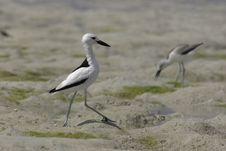 Free Crab Plover Stock Photo - 648570