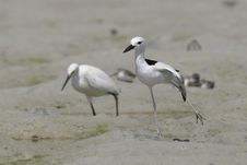 Free Crab Plover Royalty Free Stock Photo - 648575
