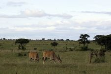 Free Eland Antelopes Stock Photo - 648580