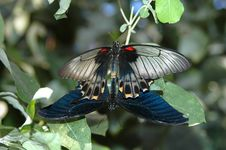 Mating Of Large Mormon (papilio Memnon) 2 Royalty Free Stock Images