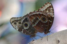Free Mating Of Morphos 2 Stock Image - 648811