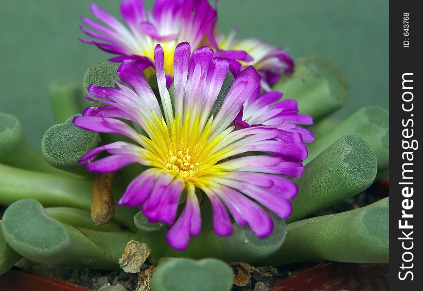 Blossoming Frithia pulchra.
