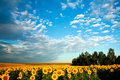 Free Yellow Field Stock Photos - 6401853