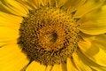 Free Closeup Of Sunflower Royalty Free Stock Image - 6402006