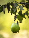 Free Green Pear Royalty Free Stock Photos - 6405538