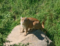 Free Cougar On A Rock Stock Photography - 6407442