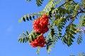 Free Ash-berry Royalty Free Stock Photos - 6407658