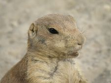 Free Prairie Dog Royalty Free Stock Images - 6401299