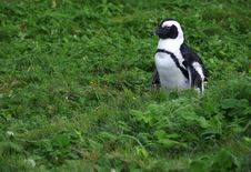 Free Lone Penguin In Some Green Vegetation Royalty Free Stock Photo - 6401455