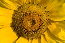 Free Closeup Of Sunflower Royalty Free Stock Image - 6402006