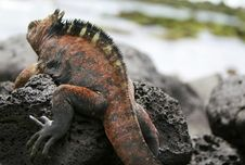 Free Marine Iguana Stock Photography - 6402902