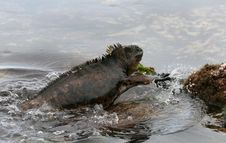 Free Marine Iguana Stock Photos - 6403013