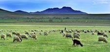 Free Sheep In A Meadow Royalty Free Stock Images - 6403109
