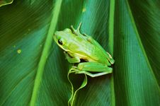 Free Green Frog Royalty Free Stock Photography - 6404187