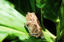 Free Brown Toad Royalty Free Stock Photos - 6404208