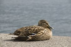 Free Brown Mallard Duck Royalty Free Stock Images - 6404659
