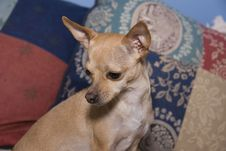 Free Chihuahua  Portrait Stock Photography - 6405532