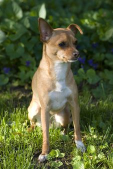 Free Chihuahua Stock Photography - 6405552
