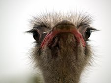 Free Ostrich Head Stock Photo - 6405620