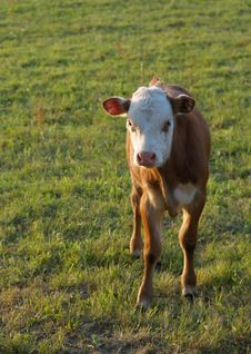 Free Calf Stock Images - 6406094