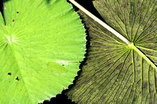 Lily Pad Flipped Royalty Free Stock Photo