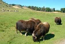 Free Musk Oxen (Ovibos Moschatus) Stock Photography - 6407532
