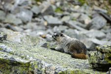 Free Hoary Marmot Royalty Free Stock Photography - 6407607