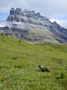 Free Hoary Marmot Royalty Free Stock Image - 6407706