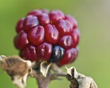 Free Blackberries Royalty Free Stock Photo - 6408865