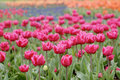Free Colorful Tulips In Garden Royalty Free Stock Image - 6412066