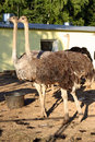 Free Ostriches Royalty Free Stock Image - 6412556