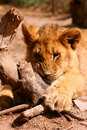 Free African Lion Stock Photos - 6415493