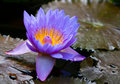 Free Blue Water Lily Royalty Free Stock Image - 6417306