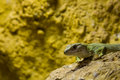 Free Lizard Head Stock Image - 6418231