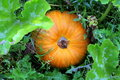 Free Pumpkin Stock Image - 6418421